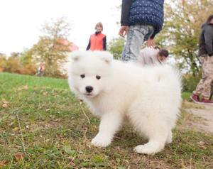 adorable male and female samoyed puppies FOR SALE ADOPTION