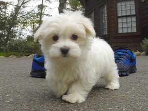 Exceptional Quality Maltese Puppies FOR SALE ADOPTION