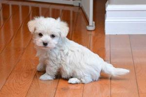 Registered Teacup Maltese Puppies Text  FOR SALE ADOPTION