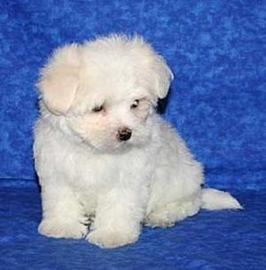 Two Quality Maltese Puppies Text  FOR SALE ADOPTION