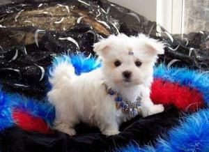 2 Amazing Maltese Puppies Available Text  FOR SALE ADOPTION