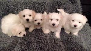 5 Beautiful Maltese puppies for sale FOR SALE ADOPTION