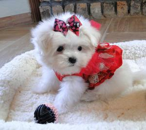 Adorable Teacup Maltese available Text  FOR SALE ADOPTION