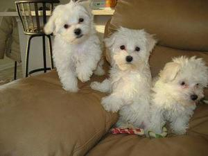 Adorable Teacup Maltese puppies for Adoption Text  FOR SALE ADOPTION