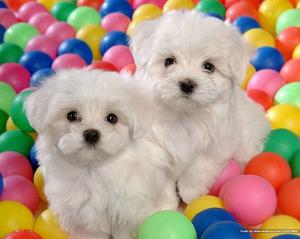Cute Purebred Teacup Maltese Puppies available Text  FOR SALE ADOPTION