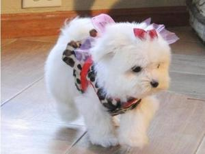 Excellent Teacup Maltese Puppies Available Text  FOR SALE ADOPTION