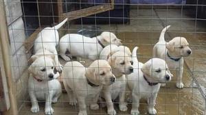 Gorgeous k c reg Labrador Retriever Puppies FOR SALE ADOPTION
