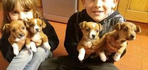 Jack Russell Terrier Puppies for sale FOR SALE ADOPTION