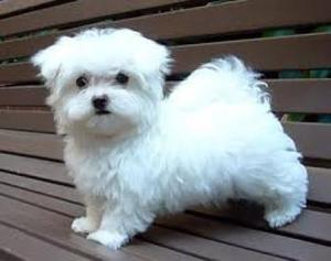 Outgoing Teacup Maltese Puppies Available Text  FOR SALE ADOPTION
