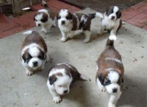 Registered St Bernard puppies FOR SALE ADOPTION