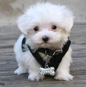 Standard Teacup Maltese puppies Text  FOR SALE ADOPTION
