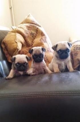Stunning litter Pug Puppies FOR SALE ADOPTION