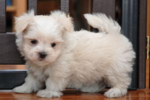 Super Pretty Teacup Maltese puppies Text  FOR SALE ADOPTION
