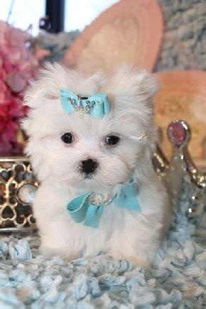 Two Adorable Teacup Maltese Puppies Text  FOR SALE ADOPTION