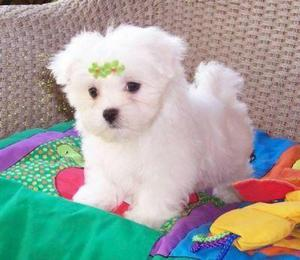 Two Intelligent Teacup Maltese puppies Text  FOR SALE ADOPTION