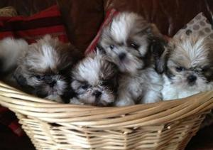 beautiful shih tzu puppies for sale FOR SALE ADOPTION