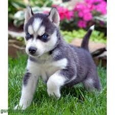 AKC Siberian Husky Pups M F available FOR SALE ADOPTION