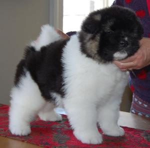 American Akita Puppies For Adoption FOR SALE ADOPTION