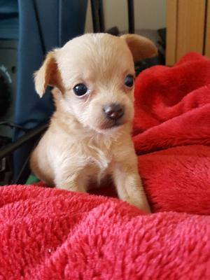 Beutifull Chihuahua Puppies for Rehoming FOR SALE ADOPTION