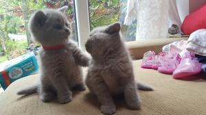 Bi Colour Pedigree British Shorthair Kittens FOR SALE ADOPTION