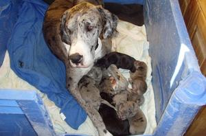 Blue merls black mantelsm Great Dane Puppies FOR SALE ADOPTION