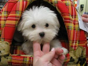 CKC Male and Female Teacup Maltese Puppies Text  FOR SALE ADOPTION