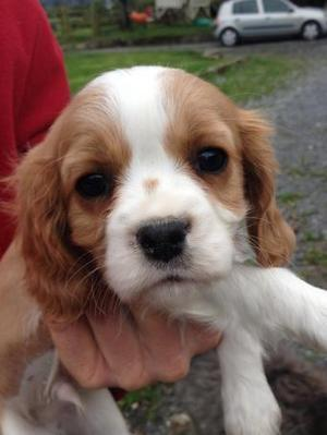 Cavalier King Charles Spaniel Puppies FOR SALE ADOPTION