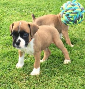 Cute Boxer Puppies FOR SALE ADOPTION