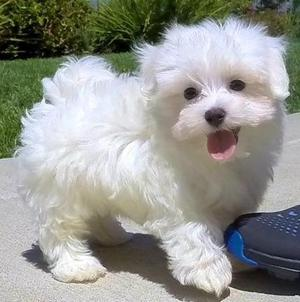Cute White T Cup Maltese Puppies Loving Family Text  FOR SALE ADOPTION