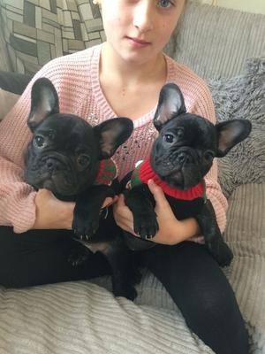 FRENCH BULLDOG PUPPIES FOR SALE ADOPTION