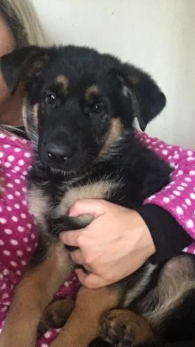 German shepherd puppies for sale Black and tan big boned pups FOR SALE ADOPTION