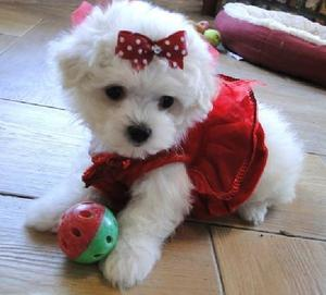 Male and Female Teacup Maltese Pups Ready Text  FOR SALE ADOPTION