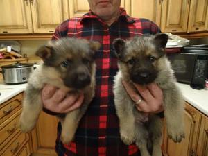 Quality German Shepherd puppies FOR SALE ADOPTION