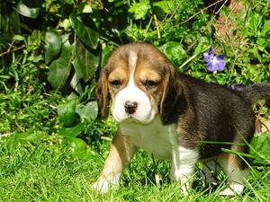 Two Gorgeous quality AKC Beagle puppies FOR SALE ADOPTION