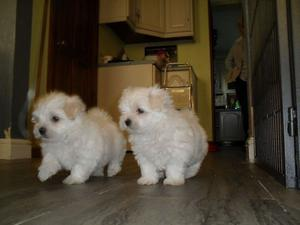 Two Teacup Maltese Puppies Needs a New Family FOR SALE ADOPTION
