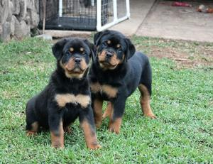 Two adorable 12 week old puppies Rottweiler  FOR SALE ADOPTION