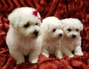 We have Beautiful litter of Bichon Frise puppies FOR SALE ADOPTION