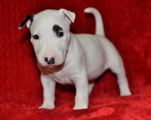 AKC reg Bull Terrier puppies FOR SALE ADOPTION