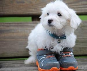 Adorable CKC Teacup Maltese puppies Text  FOR SALE ADOPTION