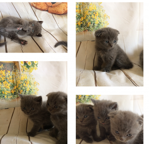Full Pedigree Scottish Fold Kittens Ready To Go FOR SALE ADOPTION