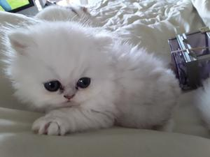 Gorgeous Lilac C p Persian Kitten ready Now FOR SALE ADOPTION