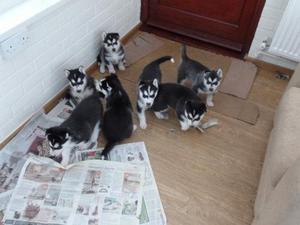 Home Trained Siberian Husky Puppies for you FOR SALE ADOPTION