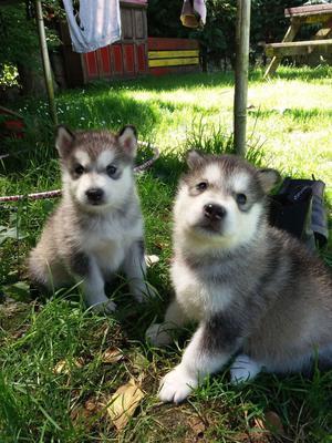 Quality Kc Reg Alaskan Malamute Pups FOR SALE ADOPTION