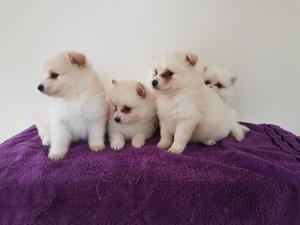 Reg Quality Stunning Pomeranian puppies FOR SALE ADOPTION