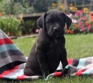 a gorgeous Cane Corso puppies with a laid back personality FOR SALE ADOPTION