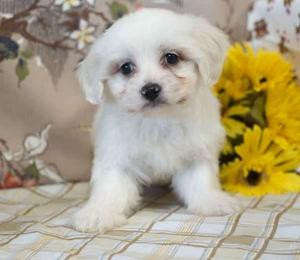 adorable Coton de Tulear puppies with a gentle nature FOR SALE ADOPTION