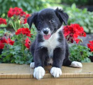 beautiful Australian Shepherd puppies with a gentle disposition FOR SALE ADOPTION