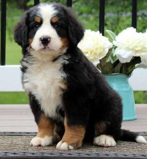 chunky Bernese Mountain Dog puppies FOR SALE ADOPTION