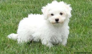 lively Bichon Frise puppies FOR SALE ADOPTION