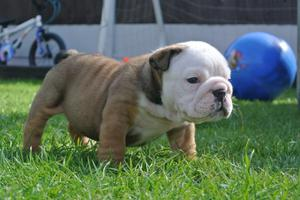 stunning Triple Carrier British Bulldogs Kc Reg FOR SALE ADOPTION